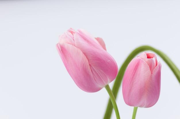 Gros plan de belles tulipes roses sur fond blanc