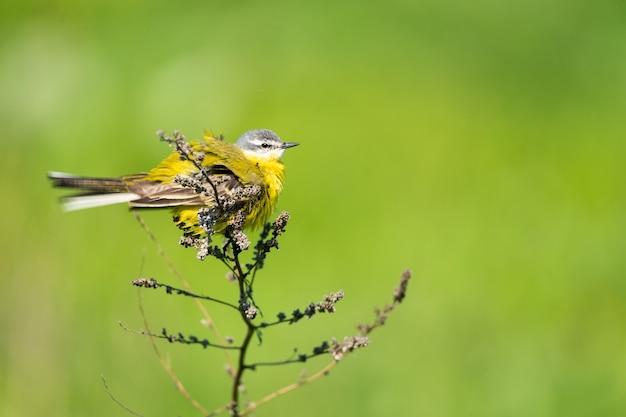 Gros plan sur la bergeronnette jaune sur branche