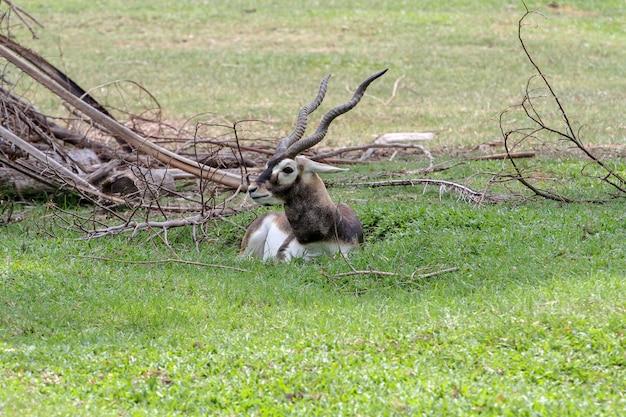 Gros plan blackbuck asseyez-vous dans le jardin