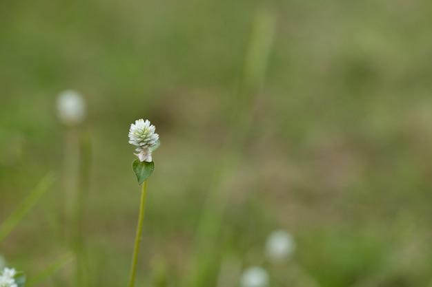 Gros plan, blanc, pré, fleurs, champ, herbe, fleur