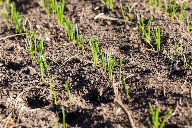 Gros plan sur le blé dans le champ
