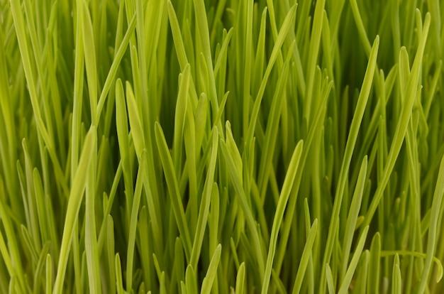 Gros plan de blé germé