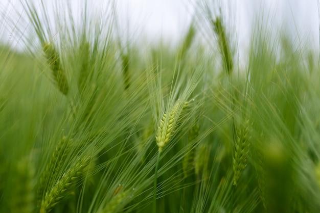 Gros plan de blé jeune vert.