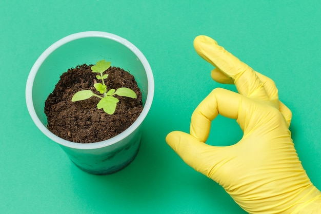 Gros plan sur une boîte en plastique avec un jeune plant de tomate dans le sol et la main de la femme dans un gant en nitrile