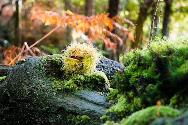 Gros plan d'une boucle verte de châtaignes, tombée sur les restes d'un tronc.