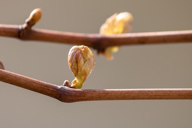 Gros plan de bourgeons sur les branches d'arbres presque prêts à fleurir