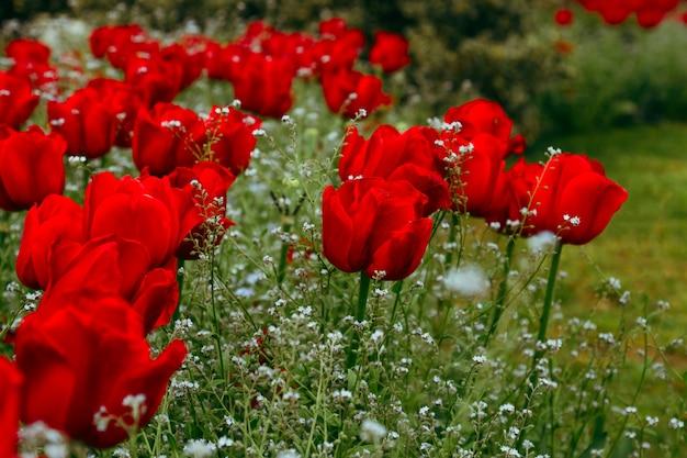 Gros plan de bourgeons de tulipes rouges dans le domaine des tulipes en fleurs