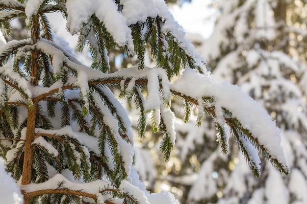 Gros plan d'une branche d'arbre de pin avec des aiguilles vertes recouvertes de neige fraîche et propre sur un bleu flou à l'extérieur