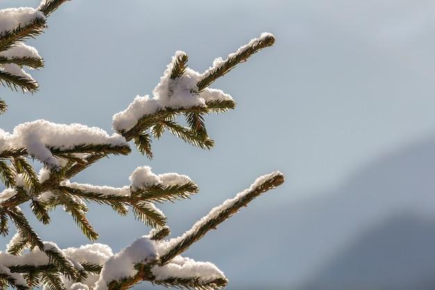 Gros plan d'une branche d'arbre de pin avec des aiguilles vertes recouvertes de neige propre et fraîche sur l'extérieur bleu flou. joyeux noël et bonne année carte postale de voeux.