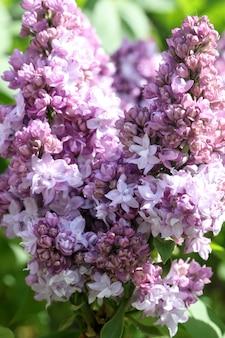 Gros plan branche de lilas violet et blanc en fleurs