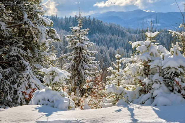 Gros plan sur des branches de pin recouvertes de neige fraîche tombée dans la forêt de montagne d'hiver par une journée froide et lumineuse.