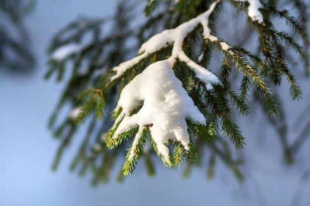 Gros plan de branches de sapin avec des aiguilles vertes recouvertes de neige propre et fraîche sur l'extérieur bleu flou. joyeux noël et bonne année carte postale de voeux.