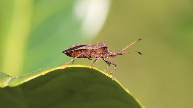 Gros plan d'un bug de bouclier brun sur la feuille