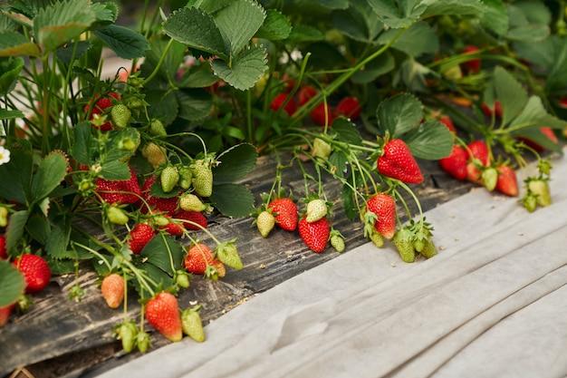 Gros plan d'un buisson de fraises fraîches mûres et non mûres dans le jardin en serre moderne. concept de jardinage biologique et de mûrissement de baies de fraises en serre.