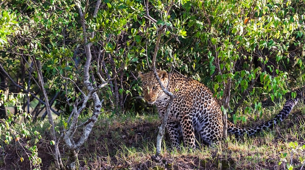 Gros plan sur cacher la chasse au léopard du chasseur