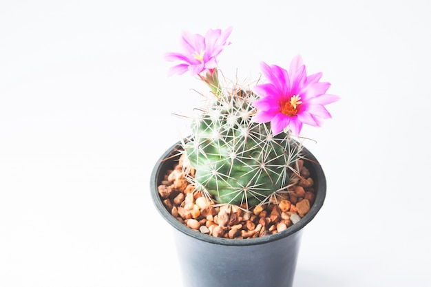 Gros plan de cactus avec des fleurs roses sur fond blanc