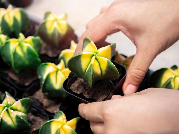 Gros plan cactus vert à deux tons dans des pots en plastique noir qui se sont reproduits dans la ferme de cactus. main tenant le cactus.