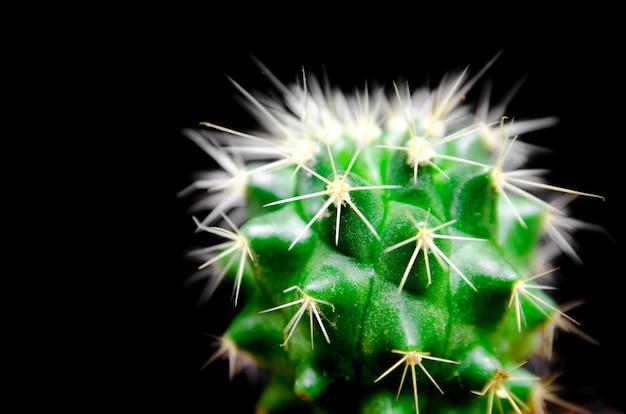 Gros plan d'un cactus vert sur fond noir isolé