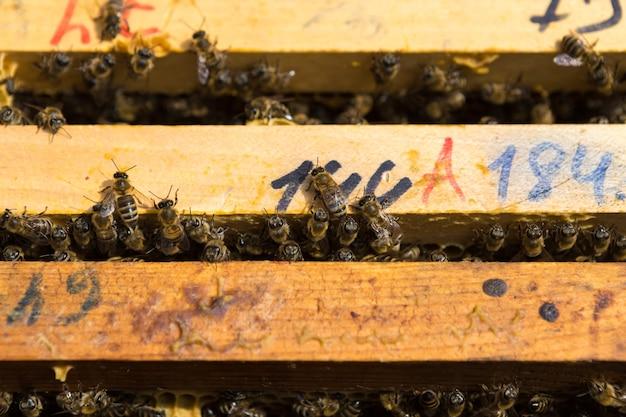 Gros plan d'un cadre avec un nid d'abeilles en cire de miel avec des abeilles dessus. flux de travail du rucher.