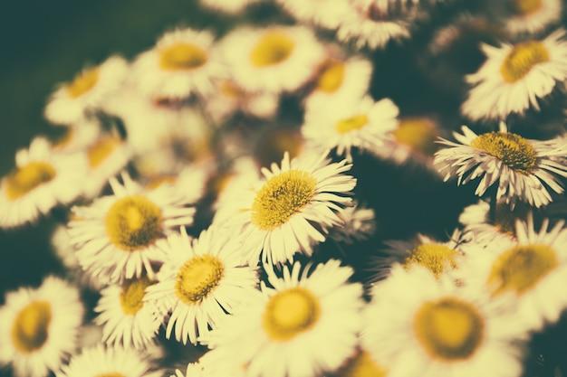 Gros plan de la camomille en fleurs dans le jardin, fond d'été. fleur magique de photographie sur fond flou