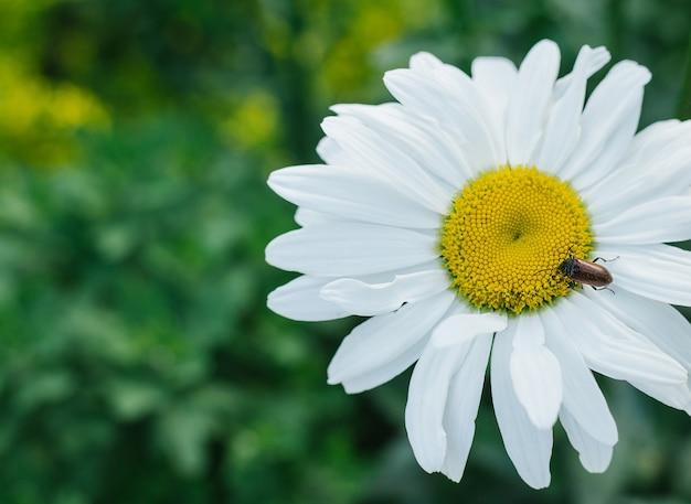 Gros plan de camomille sur fond d'herbe verte. un coléoptère est assis sur une fleur.