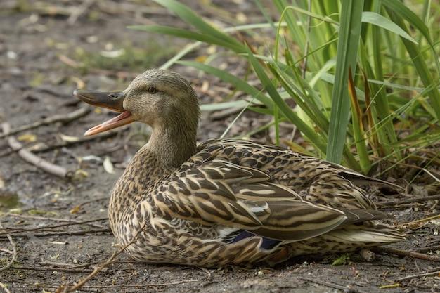 Gros plan d'un canard assis sur le sol près de plantes tout en charlatanisme avec un arrière-plan flou