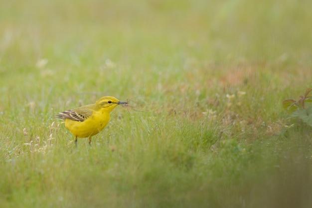 Gros plan d'un canari domestique jaune sur un champ vert