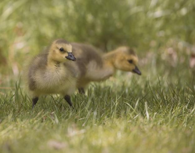 Gros plan de canetons marchant dans un champ herbeux