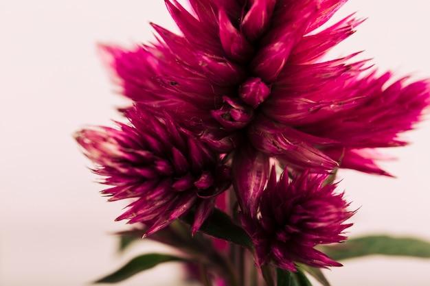 Gros plan, de, a, celosia, argentea, fleur