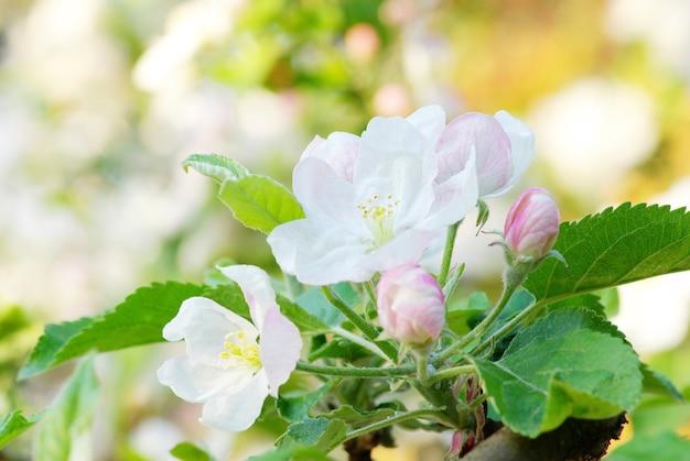 Gros plan sur les cerisiers en fleurs