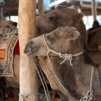 Gros plan, de, chameaux, dunhuang, jiuquan, province gansu, porcelaine