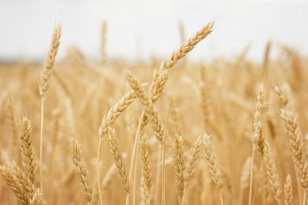 Gros plan de champ de blé, concept d'agriculteur, récolte