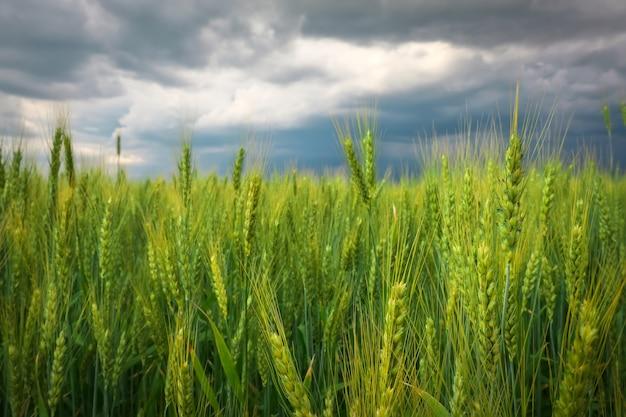 Gros plan sur le champ de blé vert et ciel nuageux orageux. composition de la nature