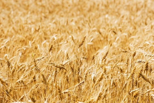 Gros plan de champ de blé.