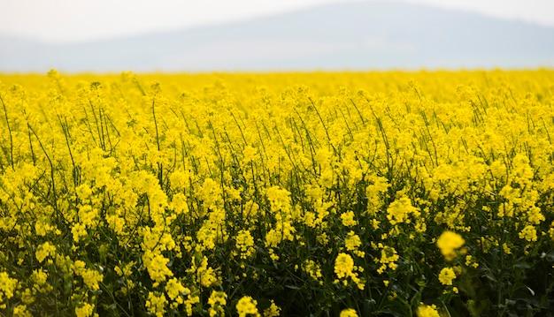 Gros plan sur le champ de colza jaune
