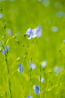 Gros plan de champ de lin bleu au printemps faible profondeur de champ