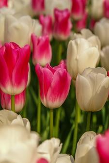 Gros plan sur le champ de tulipes au printemps