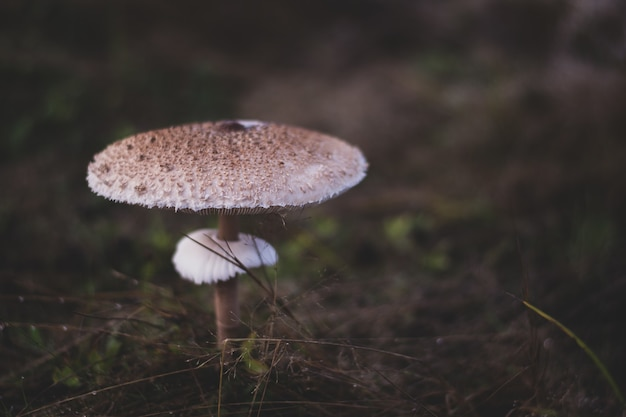 Gros plan d'un champignon parasol cultivé dans la forêt