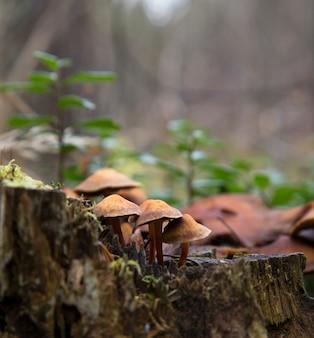 Gros plan de champignons entourés de mousse verte sur un arbre tombé. kuehner myces mut bilis.