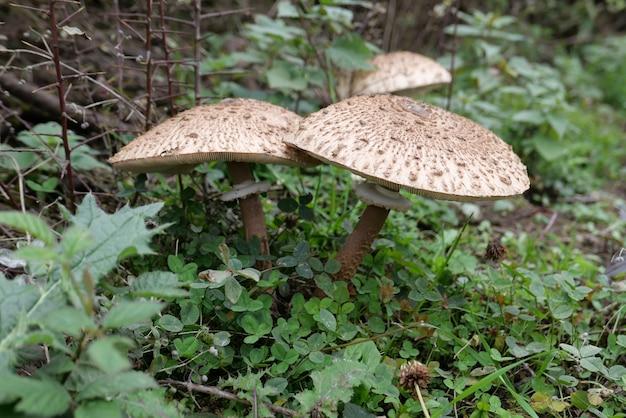 Gros plan de champignons parapluie