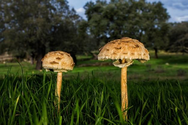 Gros plan de champignons poussant dans un champ herbeux