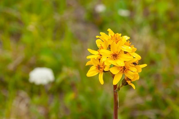 Gros plan des champs de fleurs jaunes avec la montagne en arrière-plan au loin.