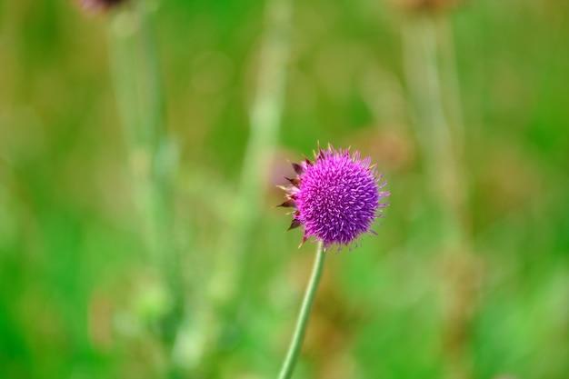 Gros plan de chardon, gros plan de fleurs sauvages, fleur pourpre