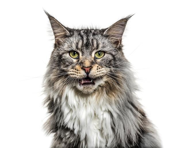 Gros plan sur un chat coon principal miauler, isolé sur blanc