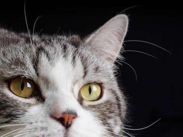 Gros plan sur un chat curieux avec de beaux yeux jaunes sur fond noir
