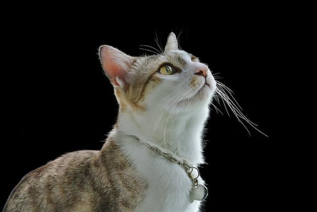 Gros plan chat domestique curieusement regardant vers le haut isolé sur fond noir