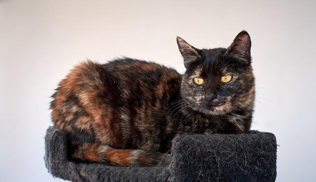 Un gros plan d'un chat écaille couché sur une tour de chat