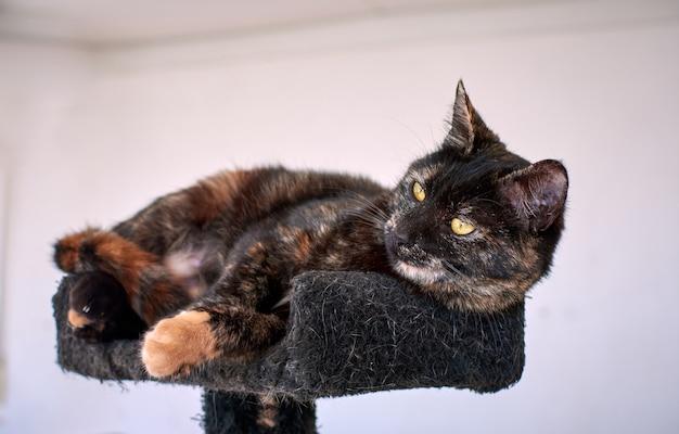 Un gros plan d'un chat en écaille de tortue sur une tour de chat