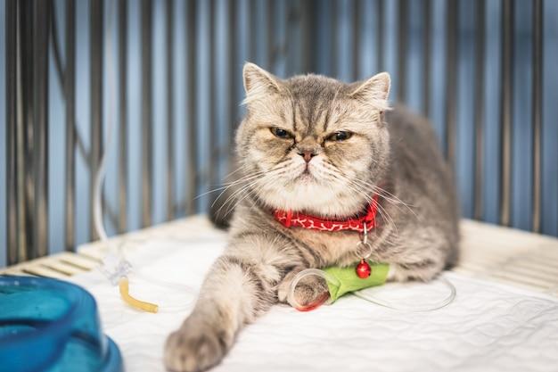 Gros plan d'un chat écossais assis dans la cage