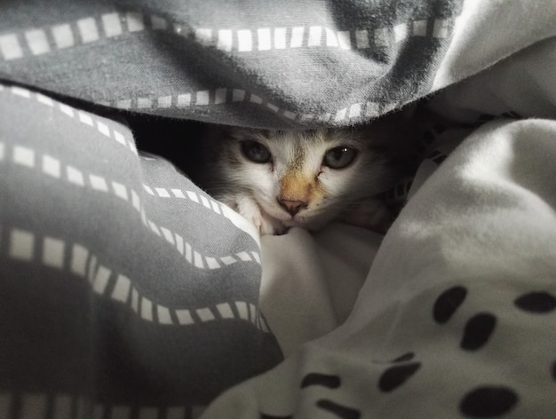 Gros plan d'un chat mignon pose et à la recherche d'entre les couvertures sur le lit